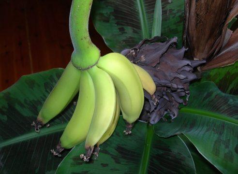 Размножение банана в домашних условиях