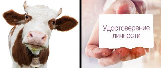 Удостоверение для коров и ещё 8 удивительных фактов об Индии.