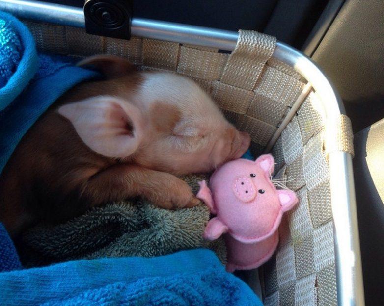 мини пиги розовый: