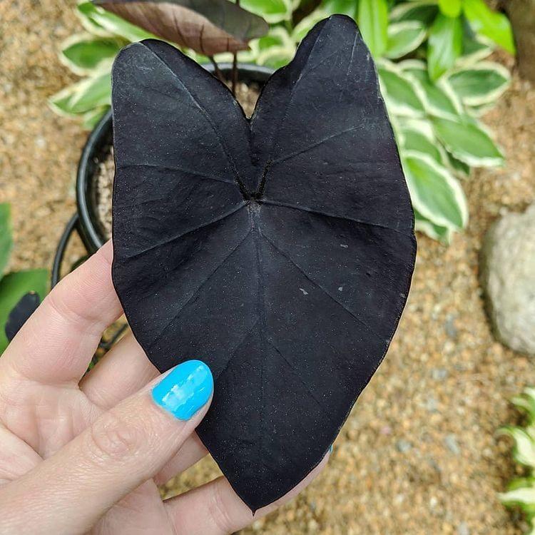 Растение Алоказия со смольно-чёрными листьями и съедобными корнями
