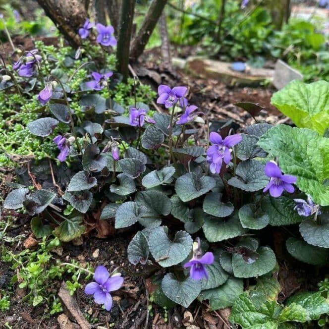 Растения с тёмными цветами и листьями для уникальной атмосферы в саду
