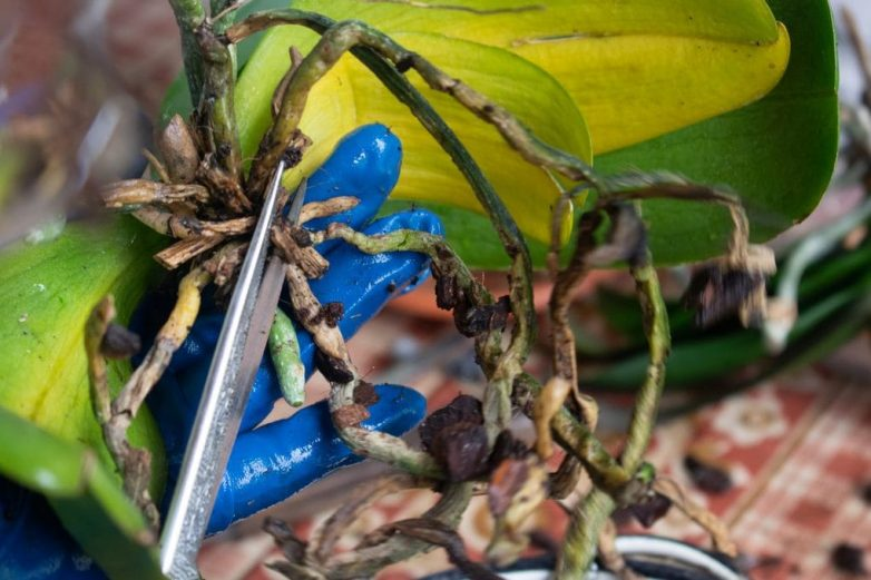 Как спасти умирающую орхидею за 5 шагов