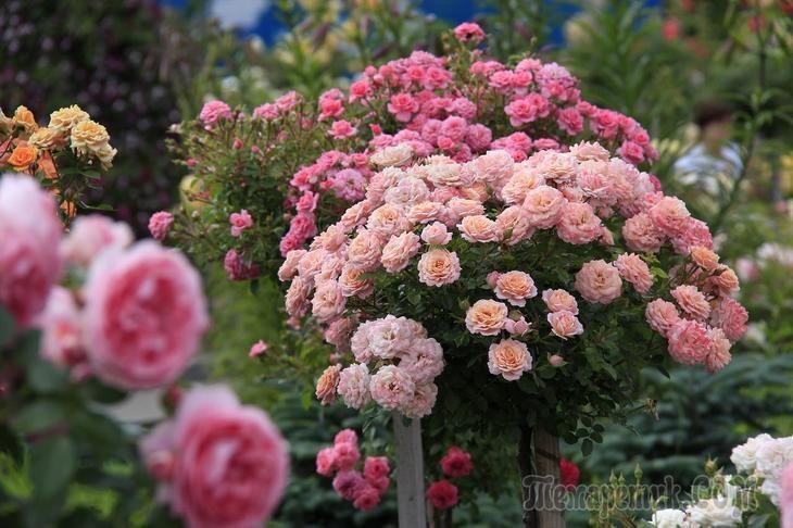 Как правильно ухаживать за розами летом