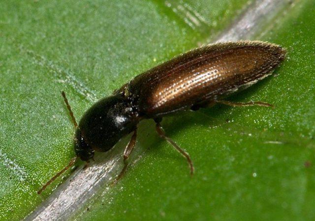От каких жуков в огороде обязательно нужно избавляться