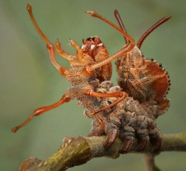 Буковый вилохвост: страшнее природа уже ничего не придумает!
