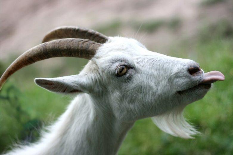 Козы или овцы? Тест на интеллект