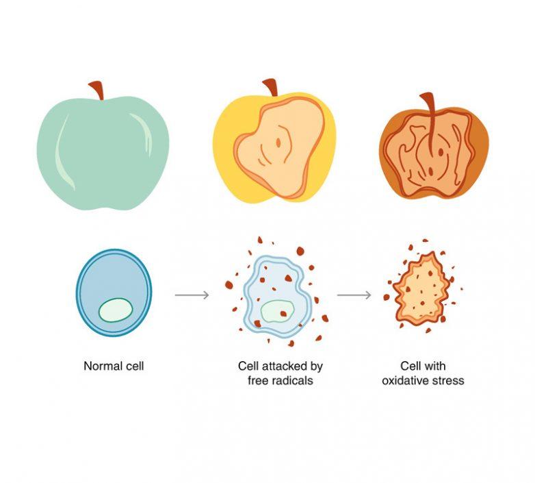Как противостоять клеточному старению