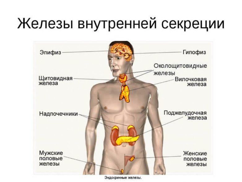 Какие органы образуют нашу эндокринную систему