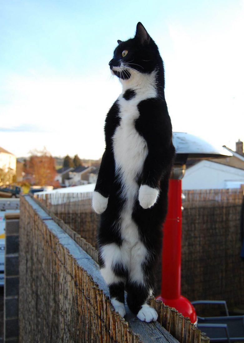 15 фотографий, для тех, кто думал, что коты стоят только на четырех лапах