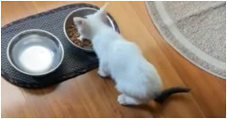 Котенок разговаривает со своей хозяйкой пока ест