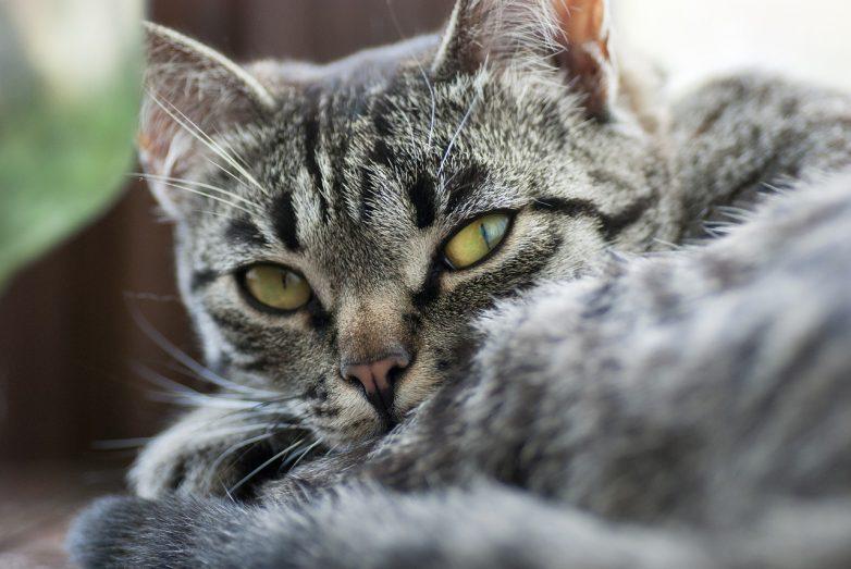Может ли у кошки поседеть шерсть
